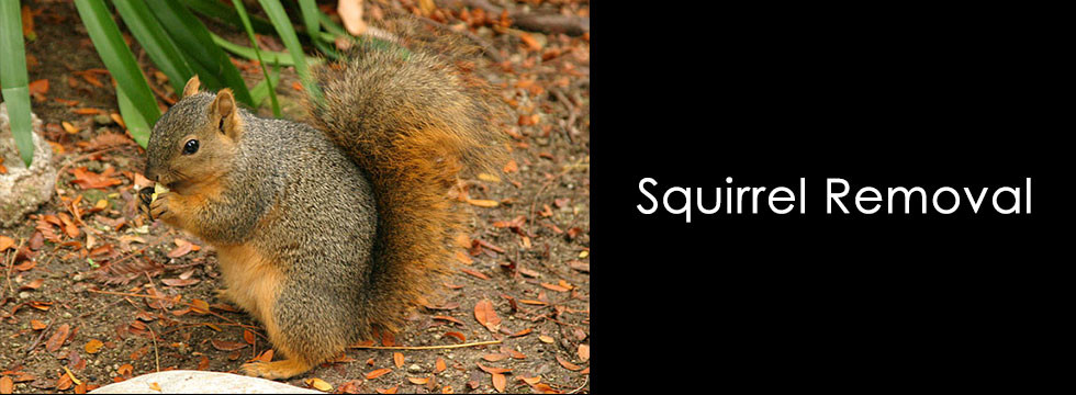 San Antonio Squirrel Removal